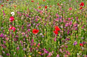PRIVATE GARDEN, GLOUCESTERSHIRE - DESIGNER ANGEL COLLINS. MEADOW OF ANNULAS - RED POPPIES, ANNUAL, SUMMER, JULY, MEADOW