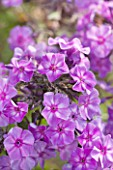CLOSE UP OF PHLOX NEON FLAME - CNP13 NEON FLAME JPG