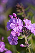 CLOSE UP OF PHLOX EVENTIDE - CNP6 EVENTIDE JPG