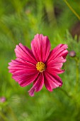 CLOSE UP OF RICH RED FLOWER OF HALF HARDY ANNUAL COSMOS BIPINNATUS RUBENZA - PLANT PORTRAIT, JULY, SUMMER