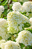 CLOSE UP OF CREAM / WHITE FLOWER OF HYDRANGEA PANICULATA BOMBSHELL-  PLANT PORTRAIT, JULY, SUMMER, SHRUB