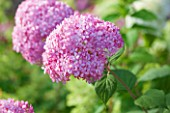 CLOSE UP OF PALE PINK FLOWER OF HYDRANGEA ARBORESCENS INVINCIBELLE SPIRIT-  PLANT PORTRAIT, JULY, SUMMER, SHRUB