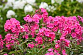 CLOSE UP OF FLOWERS OF RED/ PINK  PHLOX PANICULATA OTLEY CHOICE  - CN-P15 - OTLEY  CHOICE.JPG
