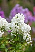 CLOSE UP OF FLOWERS OF CREAM / WHITE PHLOX PANICULATA REMBRANDT - CN-P19 - REMBRANDT. JPG
