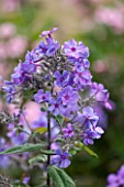 CLOSE UP OF FLOWERS OF BLUE PHLOX PANICULATA BLUE PARADISE -  CN-P13 - BLUE PARADISE. JPG