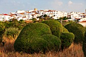 JONATHAN BAILLIE GARDEN, ALAIOR, MENORCA: CLIPPED TOPIARY OLIVE TREES WITH VIEW OF THE TOWN OF ALAIOR. MEDITERRANEAN