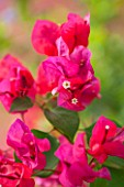 JONATHAN BAILLIE GARDEN, ALAIOR, MENORCA: CLOSE UP OF RED / ORANGE FLOWERS OF BOUGAINVILLEA, CLIMBER