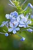 JONATHAN BAILLIE GARDEN, ALAIOR, MENORCA: CLOSE UP OF PALE BLUE FLOWERS OF PLUMBAGO AURICULATUS. CLIMBER