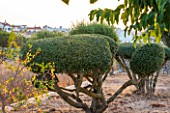 JONATHAN BAILLIE GARDEN, ALAIOR, MENORCA: CLIPPED, TOPIARY OLIVE TREES