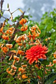 WEST DEAN GARDENS, WEST SUSSEX: LATE SUMMER BORDERS IN THE WALLED VEGETABLE GARDEN - ORANGE THEMED BORDER - HOT, WARM, FLOWER, FLOWER BEDS - DAHLIA AND ORANGE MARTAGON LILY