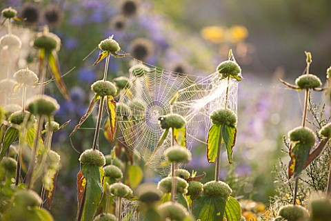 WEST_DEAN_GARDENS_WEST_SUSSEX_BACKLIT_PHLOMIS_WITH_SPIDERS_WEB