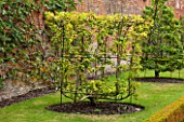 WEST DEAN GARDENS, WEST SUSSEX: ESPALIERED PEAR DOYENNE DU COMICE IN THE WALLED VEGETABLE GARDEN, AUGUST, FRUIT, EDIBLE, TRAINED, PYRUS