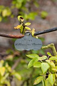 WEST DEAN GARDENS, WEST SUSSEX: NAME TAG / LABEL FOR PEAR - PEAR WILLIAMS BON CRETIEN, IN THE WALLED VEGETABLE GARDEN, AUGUST, FRUIT, EDIBLE, TRAINED, PYRUS