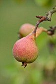 WEST DEAN GARDENS, WEST SUSSEX: CLOSE UP OF PEAR - PEAR WILLIAMS BON CRETIEN, IN THE WALLED VEGETABLE GARDEN, AUGUST, FRUIT, EDIBLE, TRAINED, PYRUS