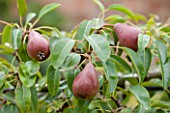 WEST DEAN GARDENS, WEST SUSSEX: CLOSE UP OF PEAR - PEAR LOUISE BON DE JERSEY IN THE WALLED VEGETABLE GARDEN, AUGUST, FRUIT, EDIBLE