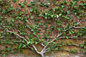 WEST DEAN GARDENS, WEST SUSSEX: ESPALIERED FIG TRAINED AGAINST THE BRICK WALL IN THE WALLED VEGETABLE GARDEN, AUGUST, FRUIT, EDIBLE, TRAINED