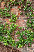 WEST DEAN GARDENS, WEST SUSSEX: ESPALIERED APPLE TREE - APPLE SPARTAN M26 TRAINED AS A SPITRAL AGAINST THE BRICK WALL IN THE WALLED VEGETABLE GARDEN, EDIBLE
