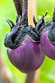 WEST DEAN GARDENS, WEST SUSSEX: CLOSE UP OF PURPLE AUBERGINE - AUBERGINE MONEY MAKER F1 - RIPENING, VEGETABLE, EDIBLE, PLANT PORTRAIT - SOLANUM MELONGENA