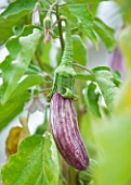 WEST DEAN GARDENS, WEST SUSSEX: CLOSE UP OF AUBERGINE - AUBERGINE LISTADA DE GRANDIA  - RIPENING, VEGETABLE, EDIBLE, PLANT PORTRAIT - SOLANUM MELONGENA
