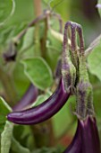 WEST DEAN GARDENS, WEST SUSSEX: CLOSE UP OF AUBERGINE - AUBERGINE FARMERS LONG F1 - RIPENING, VEGETABLE, EDIBLE, PLANT PORTRAIT - SOLANUM MELONGENA