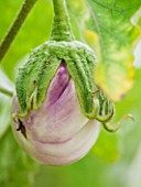 WEST DEAN GARDENS, WEST SUSSEX: CLOSE UP OF AUBERGINE - AUBERGINE ROSA BIANCA - RIPENING, VEGETABLE, EDIBLE, PLANT PORTRAIT - SOLANUM MELONGENA
