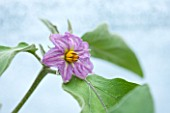 WEST DEAN GARDENS, WEST SUSSEX: CLOSE UP OF THE FLOWER OF AN AUBERGINE - AUBERGINE FLORIDA HIGH BUSH  - RIPENING, VEGETABLE, EDIBLE, PLANT PORTRAIT - SOLANUM MELONGENA