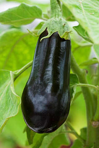 WEST_DEAN_GARDENS_WEST_SUSSEX_LOSE_UP_OF_THE_FLOWER_OF_AN_AUBERGINE__AUBERGINE_FLORIDA_HIGH_BUSH___V