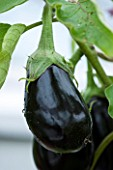WEST DEAN GARDENS, WEST SUSSEX: LOSE UP OF THE FLOWER OF AN AUBERGINE - AUBERGINE GIOTTA F1  - VEGETABLE, EDIBLE, PLANT PORTRAIT - SOLANUM MELONGENA