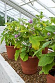 WEST DEAN GARDENS, WEST SUSSEX: TERRACOTTA CONTAINERS WITH AUBERGINES - VEGETABLE, EDIBLE, PLANT PORTRAIT - SOLANUM MELONGENA
