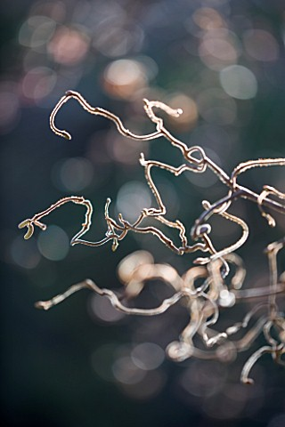 CLOSE_UP_OF_CORYLUS_AVALLENA_CONTORTA__DECEMBER_WINTER_PLANT_PORTRAIT_TREE_BARE_STEM_BRANCHES_TWISTE