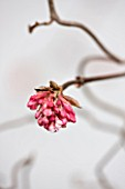 CLOSE UP OF PINK EMERGING BUDS OF VIBURNUM X BODNANTENSE CHARLES LAMONT - SCENT, FLOWER, PLANT PORTRAIT, SCENTED
