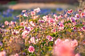 LAMPORT HALL, NORTHAMPTONSHIRE: PERENNIAL PLANTING IN THE WALLED CUTTING GARDEN - JAPANESE ANEMONES. SUNSET, FLOWER, FLOWERS, AUGUST, SUMMER, BACKLIGHT