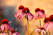 LAMPORT HALL, NORTHAMPTONSHIRE: PERENNIAL PLANTING IN THE WALLED CUTTING GARDEN - ECHINACEA PURPUREA - SUNSET, FLOWER, AUGUST, SUMMER, PINK, PLANT PORTRAIT