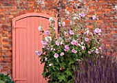 LAMPORT HALL, NORTHAMPTONSHIRE: PINK DOOR IN THE WALLED KITCHEN GARDEN OR CUTTING GARDEN WITH PINK HOLLYHOCK - FORMAL, COUNTRY GARDEN, AUGUST, SUMMER, FLOWERS