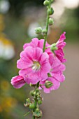 LAMPORT HALL, NORTHAMPTONSHIRE: PINK FLOWER OF HOLLYHOCK - ALCEA - PLANT PORTRAIT, AUGUST, SUMMER