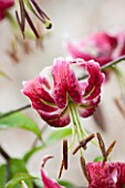 LAMPORT HALL, NORTHAMPTONSHIRE: DARK RED FLOWER OF LILY - LILIUM BLACK BEAUTY  - ALCEA - PLANT PORTRAIT, AUGUST, SUMMER, BULB
