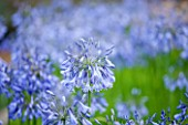 LAMPORT HALL, NORTHAMPTONSHIRE: CLOSE UP OF BLUE FLOWER OF AGAPANTHUS - PLANT PORTRAIT, AUGUST, SUMMER, BULB, PERENNIAL