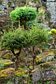 LAMPORT HALL, NORTHAMPTONSHIRE: DWARF TREES IN THE ROCK GARDEN - MINIATURE, BONSAI