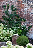SURREY GARDEN DESIGNED BY ANTHONY PAUL: ESPALIERED APPLE TREE ON BRICK WALL - SUMMER, COUNTRY GARDEN, SEPTEMBER, TRAINED