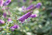 RHS GARDEN, WISLEY: CLOSE UP OF BUDDLEJA X DAVIDII BLUE CHIP ( LO AND BEHOLD SERIES ) - BUTTERFLY BUSH, SUMMER, PLANT PORTRAIT, PURPLE, DECIDUOUS, SHRUB, SINGLE, FLOWER
