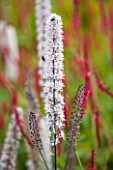RHS GARDEN, WISLEY: CLOSE UP OF WHITE FLOWER OF ACTAEA SIMPLEX ATROPURPUREA GROUP - PERENNIAL, SUMMER, PLANT PORTRAIT, SPIKE, SPIRE, TALL
