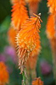RHS GARDEN, WISLEY: CLOSE UP OF ORANGE FLOWER OF KNIPHOFIA FIREFLY - RED HOT POKER - PERENNIAL, SUMMER, PLANT PORTRAIT, SPIKE, SPIRE, TALL, TORCH