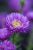 THE PICTON GARDEN AND OLD COURT NURSERIES, WORCESTERSHIRE: PURPLE / VIOLET FLOWER OF ASTER NOVI - BELGII COOMBE ROSEMARY - SINGLE, PLANT PORTRAIT, AUTUMN, SEPTEMBER, DAISY