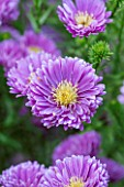 THE PICTON GARDEN AND OLD COURT NURSERIES, WORCESTERSHIRE: PURPLE / VIOLET FLOWERS OF ASTER NOVI - BELGII COOMBE ROSEMARY - SINGLE, PLANT PORTRAIT, AUTUMN, SEPTEMBER, DAISY