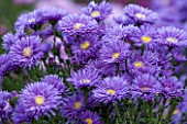 THE PICTON GARDEN AND OLD COURT NURSERIES, WORCESTERSHIRE: BLUE FLOWER OF ASTER NOVI - BELGII PERCY THROWER - DAISY, PLANT PORTRAIT, AUTUMN, SEPTEMBER, MICHAELMAS