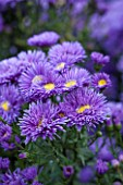 THE PICTON GARDEN AND OLD COURT NURSERIES, WORCESTERSHIRE: BLUE FLOWERS OF ASTER NOVI - BELGII PERCY THROWER - DAISY, PLANT PORTRAIT, AUTUMN, SEPTEMBER, MICHAELMAS