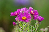 THE PICTON GARDEN AND OLD COURT NURSERIES, WORCESTERSHIRE: PINK/ RED FLOWERS OF ASTER NOVI - ANGLIAE JAMES RITCHIE - DAISY, PLANT PORTRAIT, AUTUMN, SEPTEMBER, MICHAELMAS