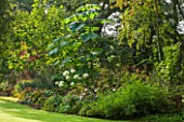 THE LYNDALLS, HEREFORDSHIRE: BORDER WITH HYDRANGEA AND PAULOWNIA TOMENTOSA - AGM - CLASSIC COUNTRY GARDEN, GREEN