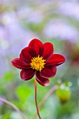 THE LYNDALLS, HEREFORDSHIRE: CLOSE UP OF DARK RED FLOWER OF DAHLIA LYNDALLS SEEDLING - CHOCOLATE, BROWN