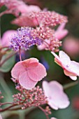THE LYNDALLS, HEREFORDSHIRE: CLOSE UP OF PINK FLOWERS OF HYDRANGEA ASPERA  HOT CHOCOLATE - HARDY SHRUB, LACECAP HYDRANGEA